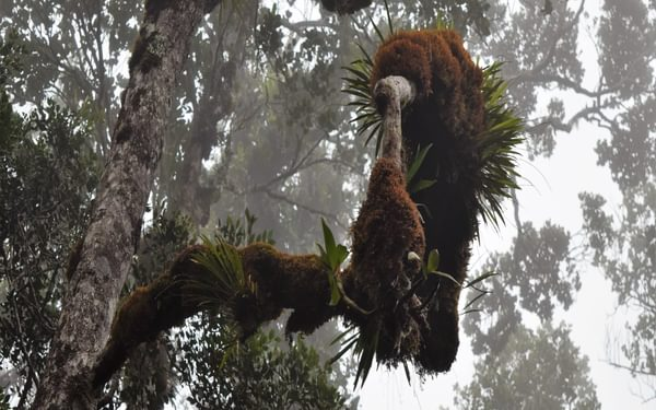 Epiphytic ferns and orchids adorn the mossy trees