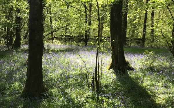 Bluebells near Coniston