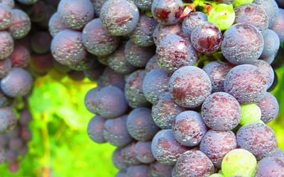 4 Dewy Grapes