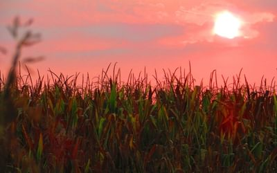 6 Sunrise over corn