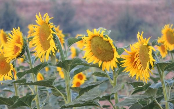 9 Sunflower Welcome