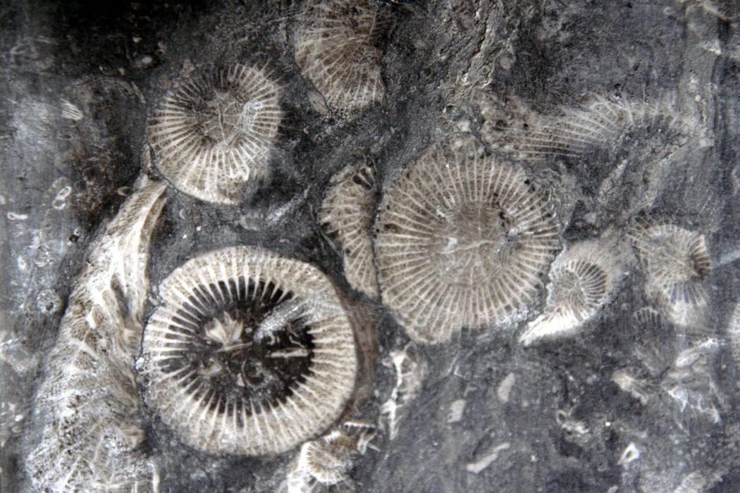 Fossiliferous frosterley marble