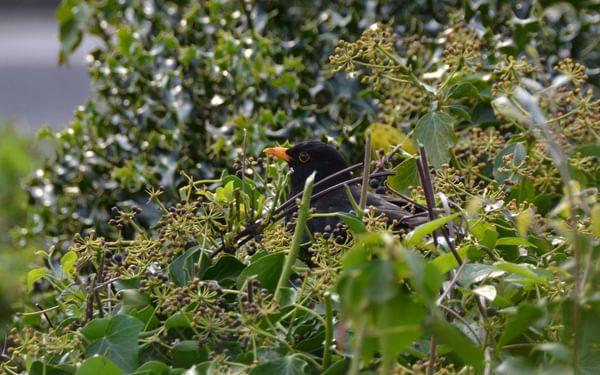 Blackbird in a garden in Cumbria