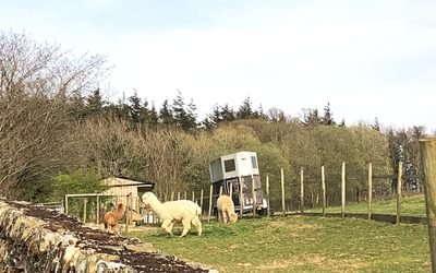 Alpacas in Cumbria