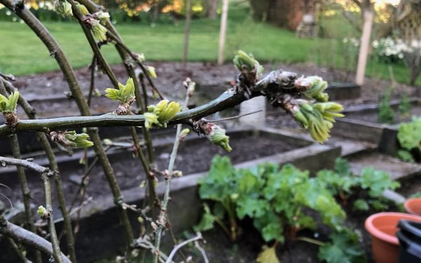 First leaves and rhubarb in Cumbria