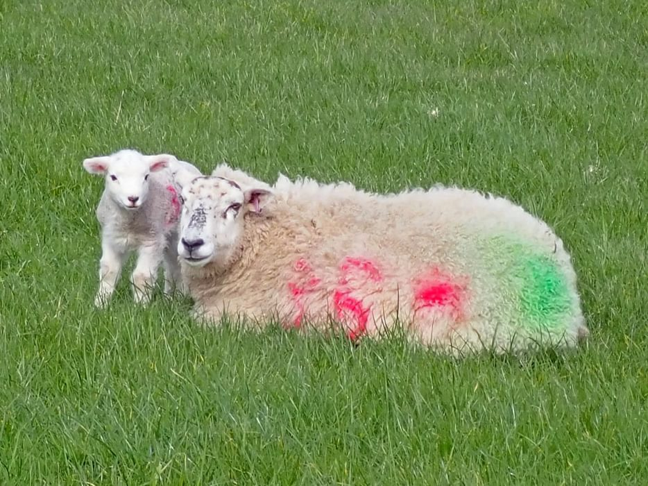 Ewe and lamb, Cumbria