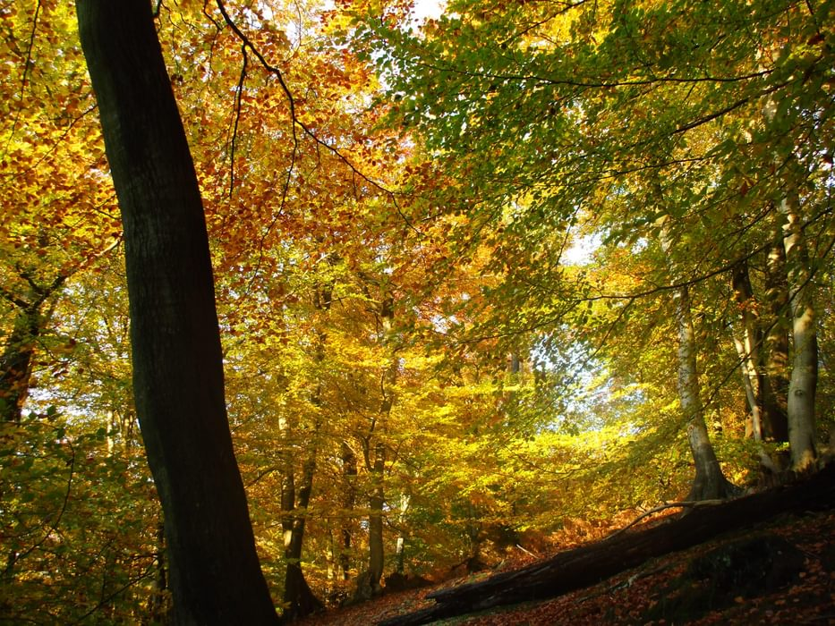 Kent gold beechwoods in autumn
