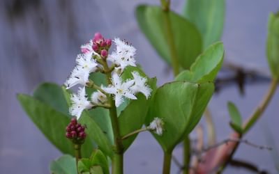 Bogbean; most walkers have [ie have been on a bog]
