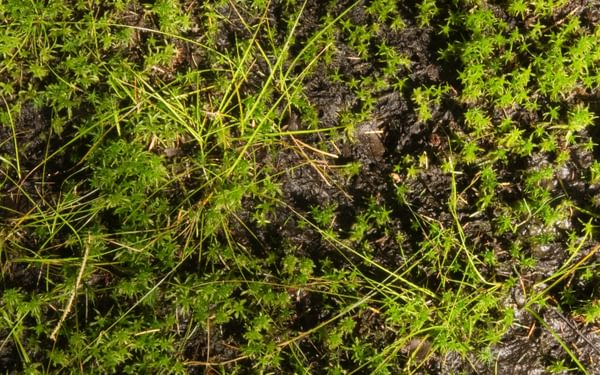Sphagnum moss, the swamp maker
