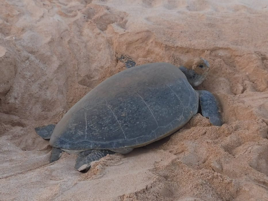 Over 5000 Green Turtles Breed On Ascension Islands Beaches Every Year