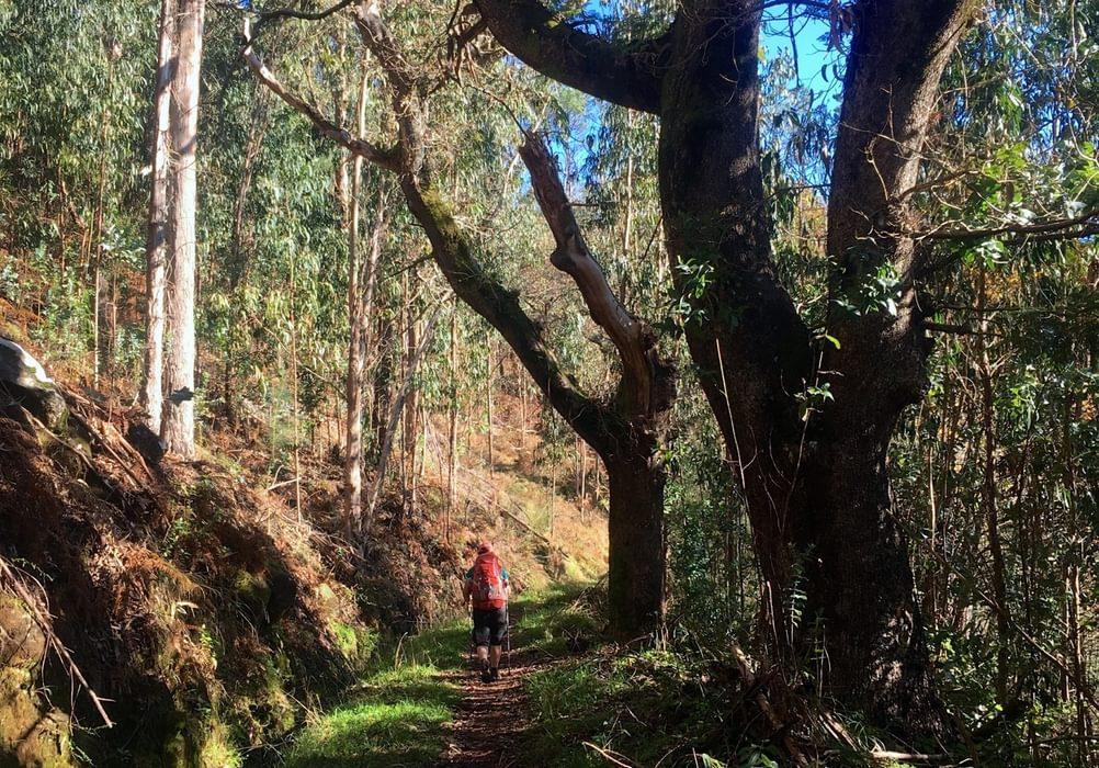 Dappled Light Along The Oak Lined Levadas