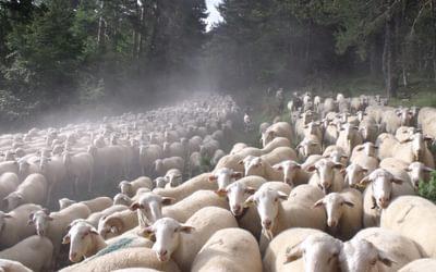 Flock Of Sheep  Sierra De  Uztarroz  Gr11  Basque  Country