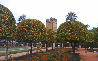 Orange Trees In The  Alcazar Gardens  Cordoba