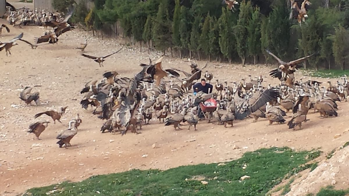 Vulture Feeding