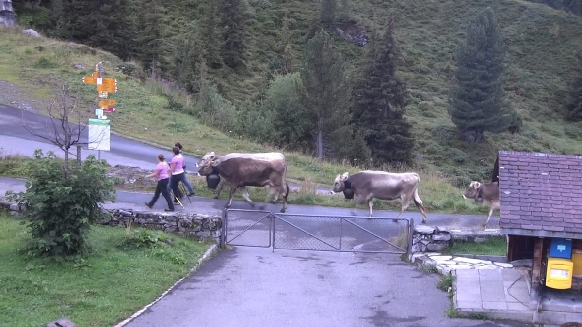 Cows Procession