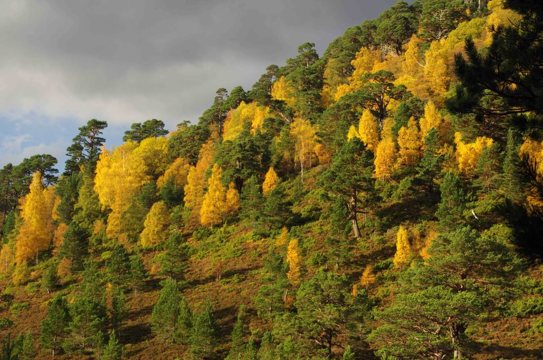 Forests Of The  Cairngorms