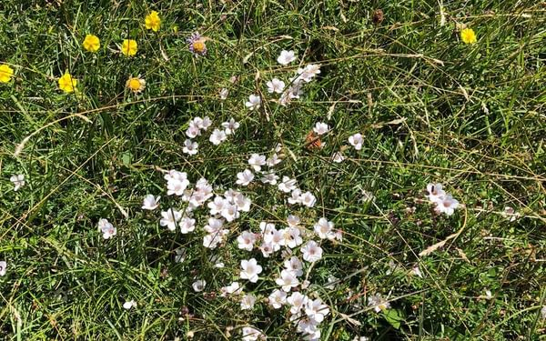 White flax and rock roses