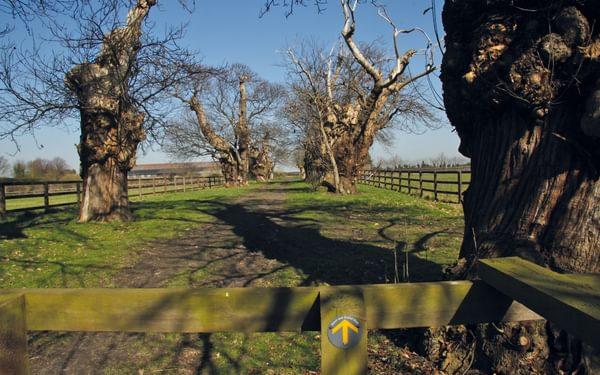 Avenue of sweet chestnut trees near Shotley