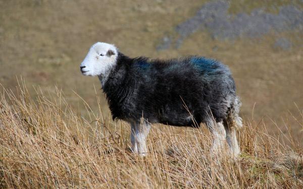Herdwick sheep on the ridge