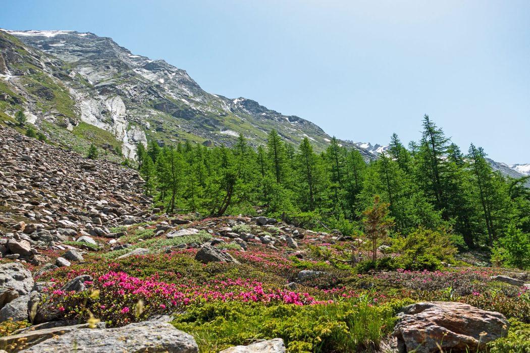 A carpet of alpenrose in the Furgtalli