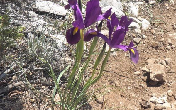 Spanish Iris Iris Xiphium