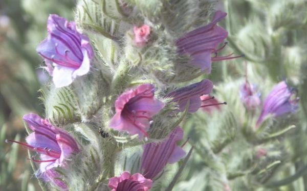 White Leaved Bugloss Echium Albicans