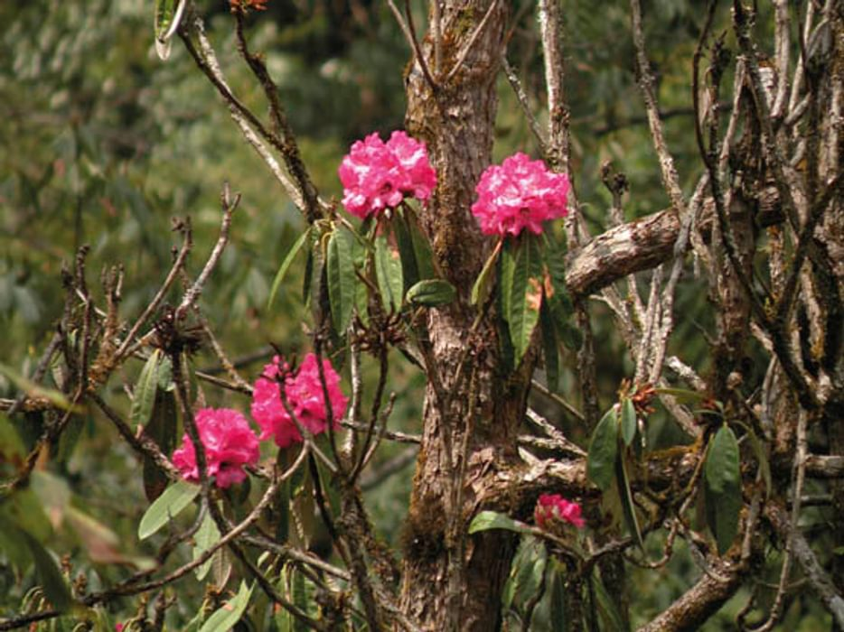 Rhododendron forest