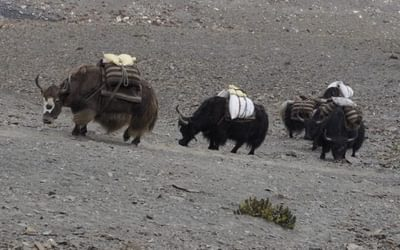 A Laden Yak Caravan Crossing The Mo La Pass 2