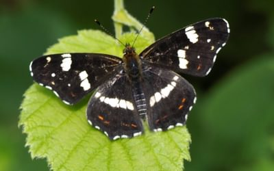Just A Few Of The Many Superb Butterflies To Be Seen In The Auvergne3