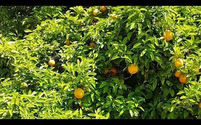 Day 2 Orange Trees At Llampaies