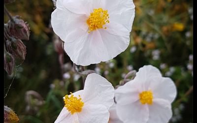Day 9 A Cistus In Full Bloom