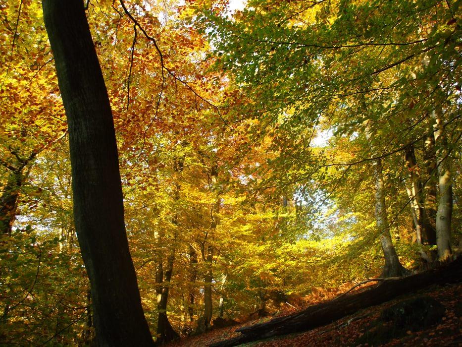 Kent Gold Beechwoods In Autumn