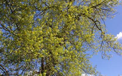 Black Poplar Dagenham