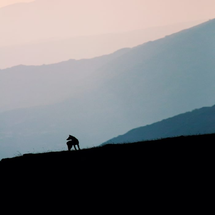"""Silhouette of the wolf painted by the sunset sky - cover of the book """"Errant keepers. Men and wolves in comparison"""""""