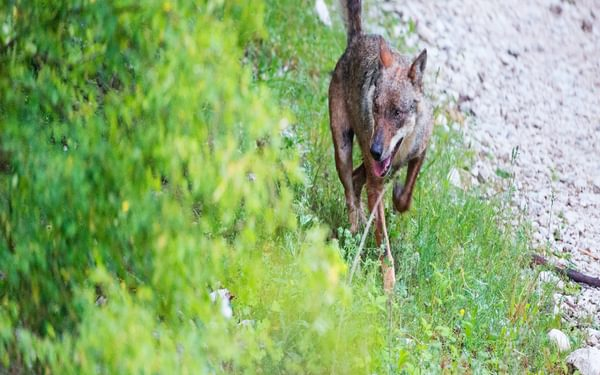 A wolf (Canis lupus italicus) comes out of the woods