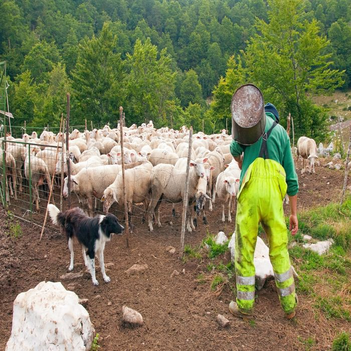 As soon as it is morning, Sandro heads to the fold to milk his sheep