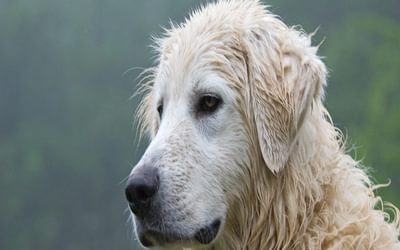 Portrait of the Maremmano Abruzzi sheepdog, one of the key keys to allow coexistence between wolf and man