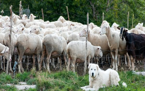 The Maremmano-Abruzzese Sheepdog defends and monitors the herd