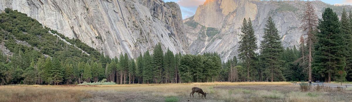 A deer grazes below Half Dome in Yosemite Valley