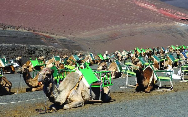 Camels await the tourists on Lanzarote and Fuerteventura
