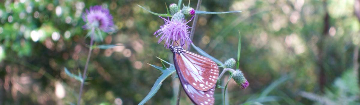 Butterfly Japan