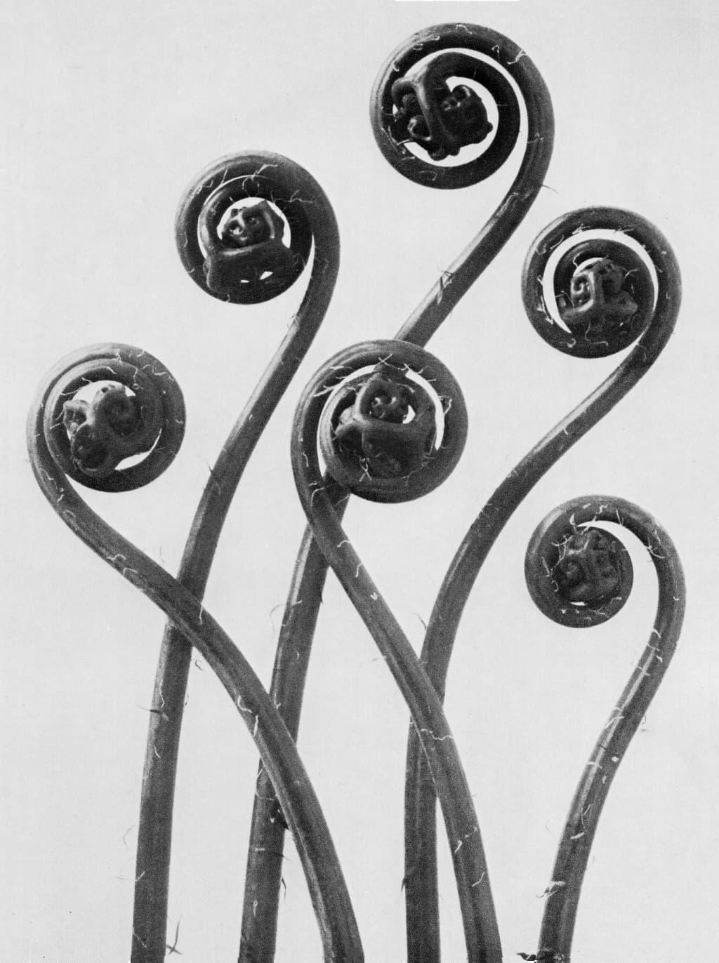 Karl Blossfeldt Ferns
