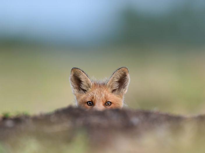 Fox Law