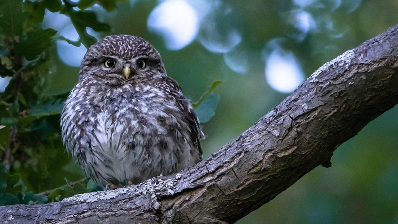 Little Owl Species