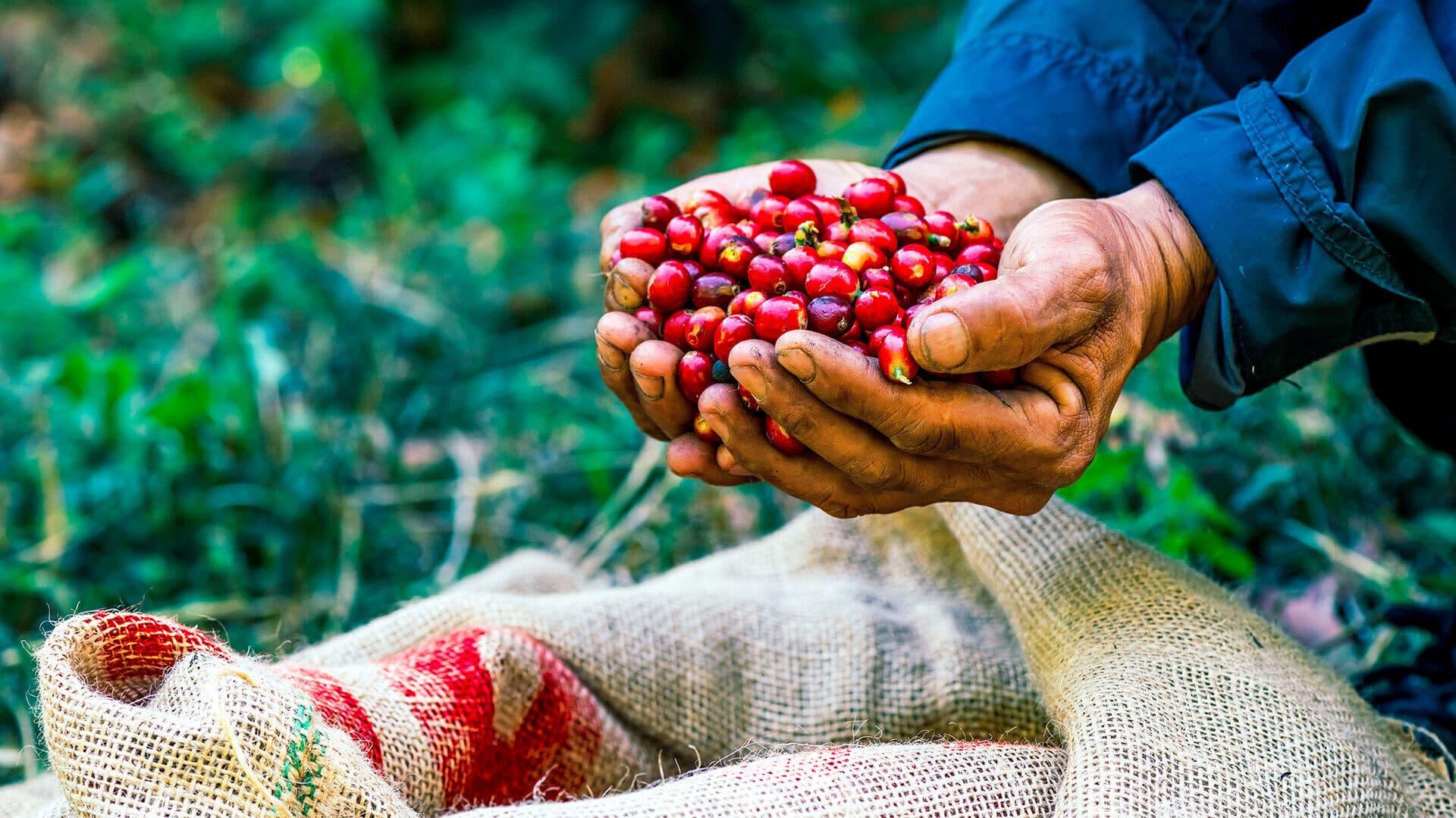 Zwei Hände voll Kaffeekirschen