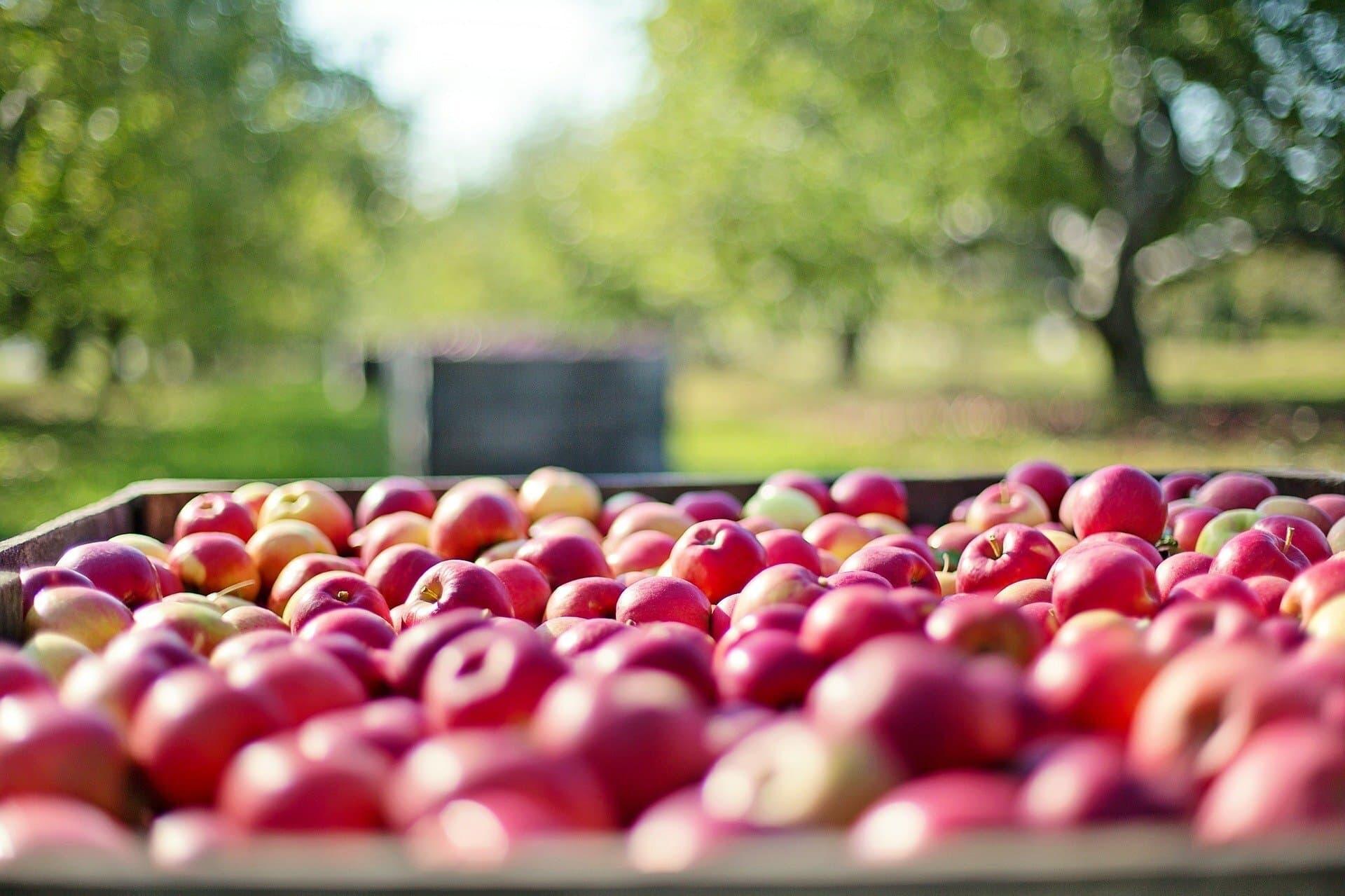 Äpfel / Apfel