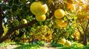 Baum mit Zitrusfrüchten