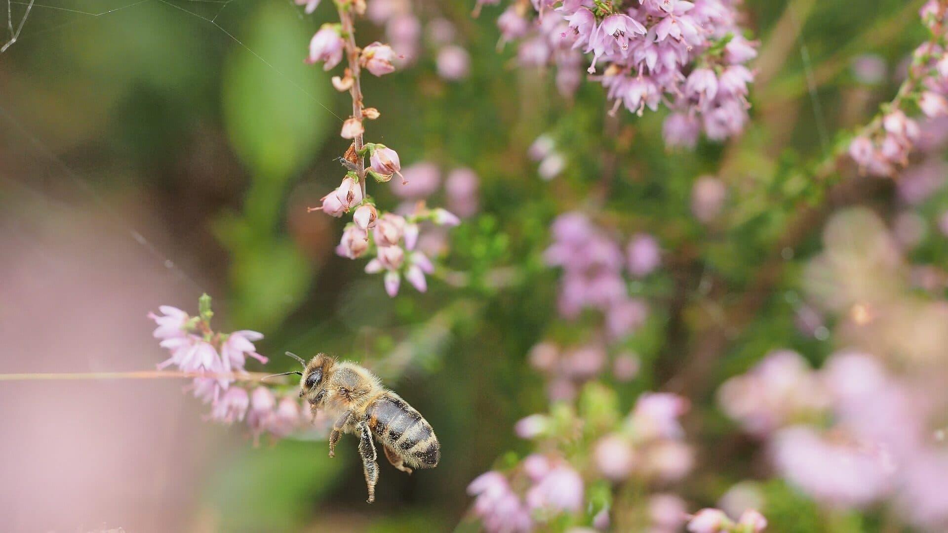 Biene sammelt Nektar in der Heide
