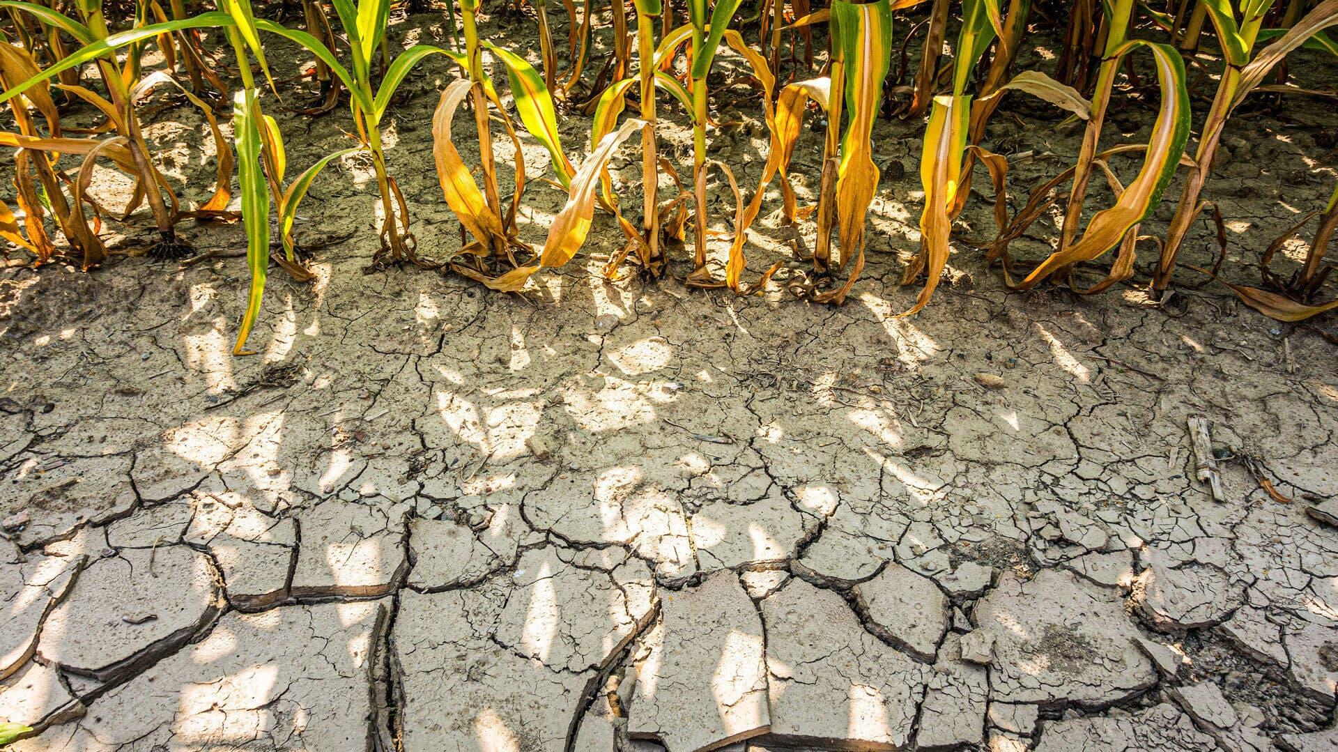 Dürre am Maisfeld