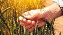 Eine Hand in einem Getreidefeld hält eine Ähre.